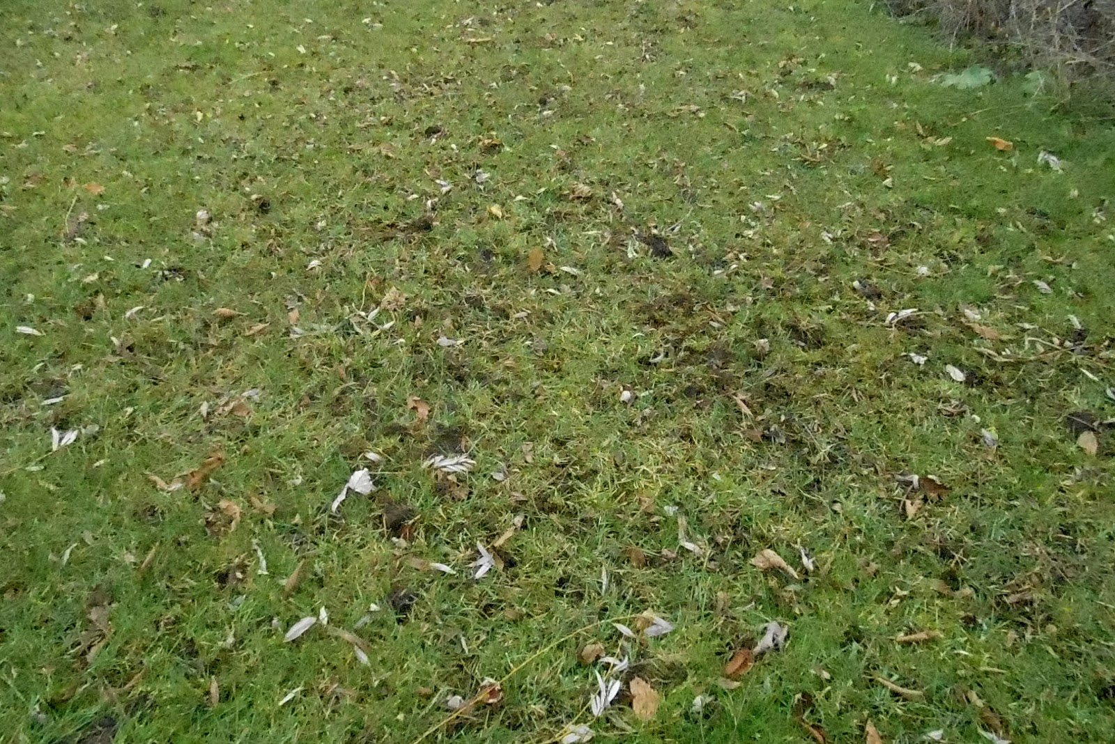 Backyard Beasts: Skunk diggings and droppings
