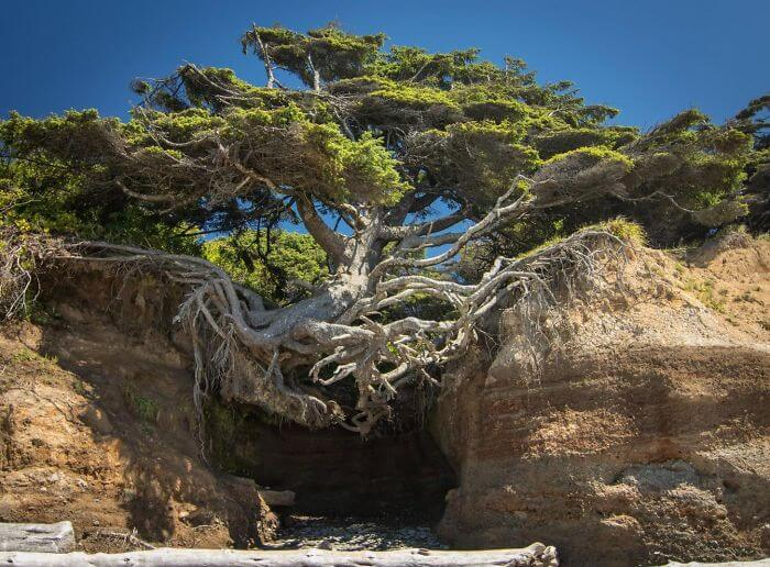 17 Pictures Of Trees That Prove The Miracle Of Life - Tree Of Life - Olympic National Park, Washington