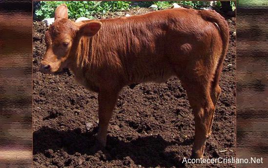 Profecía de la vaca roja anuncia era mesiánica