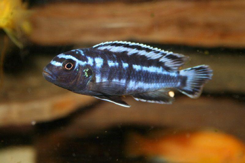 Gambar jenis jenis ikan cichlid ( Malawi Cichlids ) - Electric Blue Johannii ( Melanochromis johannii sebelumnya Pseudotropheus johannii)