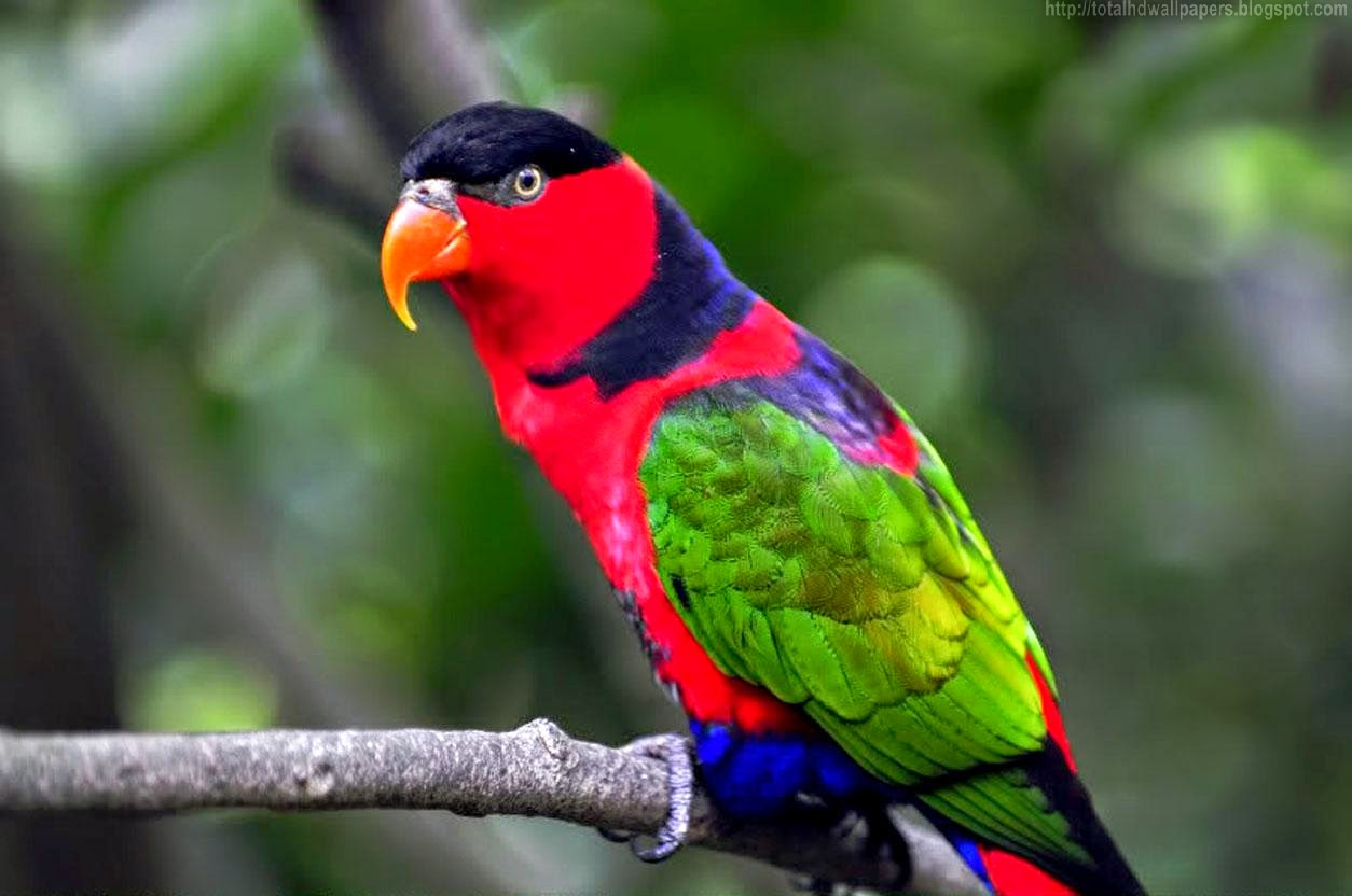 Cool Wallpaper Love Parrot - Amazon%2Bparrot%2BHD%2BWallpapers%2B%25284%2529  Gallery_736617.jpg