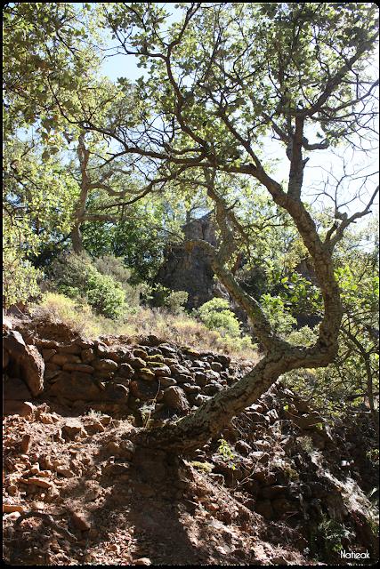 Chêne liège dans le Massif d'Esterel
