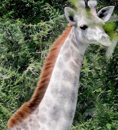 Girafa branca - Sorriso na Web