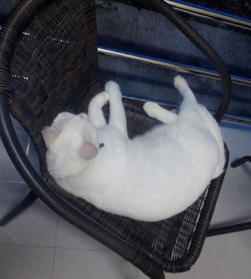 белый кот лежит кресле