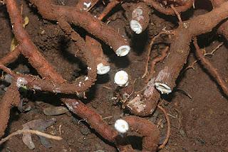 தாவரவியல் பெயர் : Hemidesmus indicus   ஆங்கிலம் : A kind of indian root vegetable alike sarsaparilla keywords magali kizhangu maagaali kizhangu mahali kizhangu maakaali kizhangu maahaali kizhangu, nannari peru nannaari, vaatham pittham மாவலிக் கிழங்கு, பெரு நன்னாரி என்றும் அழைப்பர். நன்னாரி