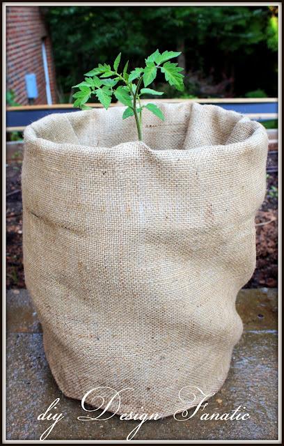 growing tomatoes, diy Design Fanatic, burlap