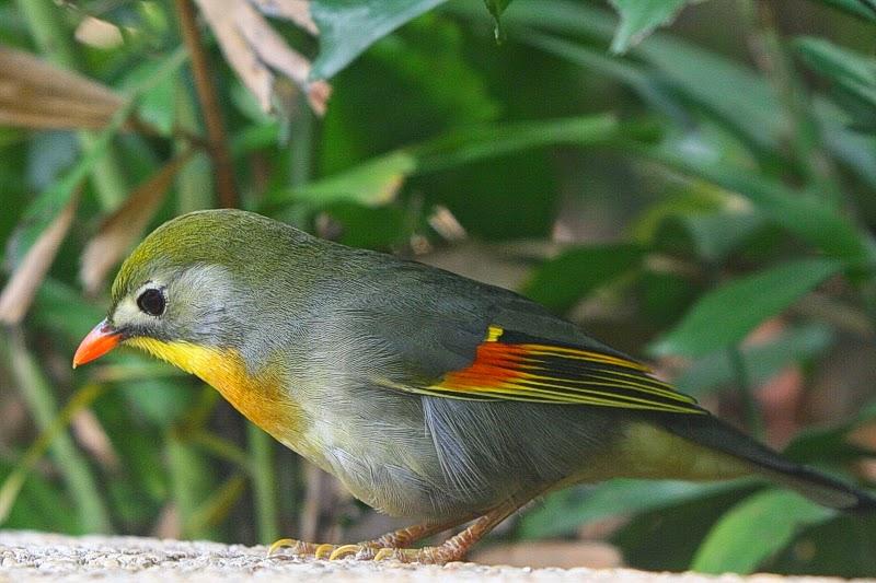 Cara Membedakan Jenis Kelamin Robin Jantan Dan Betina Hobi Si Petani