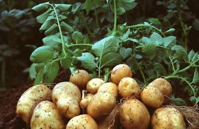 PepsiCo Vs Potato Farmers Dispute