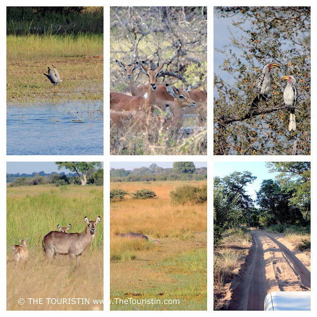 Wildlife and driving through sand in the Kwando Core Area National Park, part of BwaBwata NP