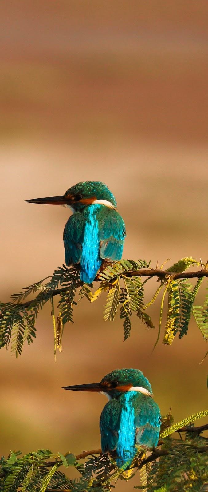 Pair of beautiful kingfisher birds.