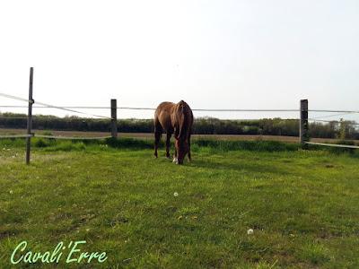 poney alezan qui broute dans un pré