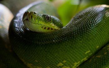 Wallpaper: Python Snake