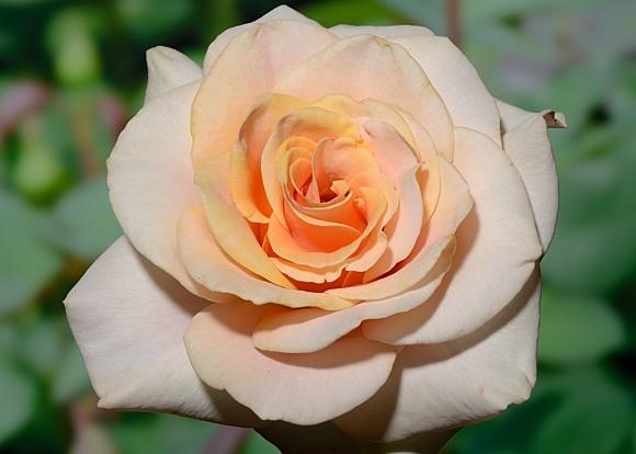 Marilyn Monroe rose сорт розы фото