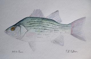 White Bass, Pat Kellner, P. H. Kellner, Fishing Art, Fly Fishing Art, Texas Freshwater Fly Fishing, TFFF, Fly Fishing Texas, Texas Fly Fishing
