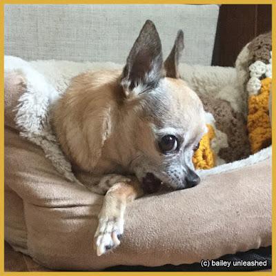 chihuahua bailey | via baileyunleashed.com