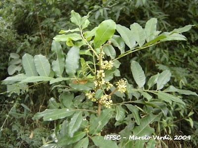 Catiguá colorada Trichilia catigua