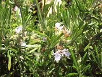 flor del romero planta aromática