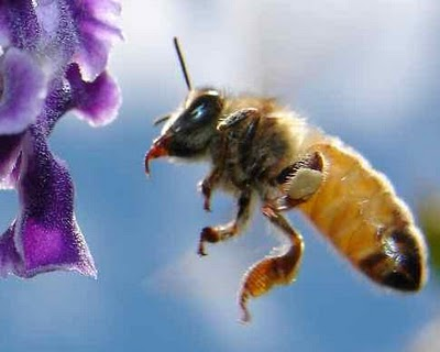 Bee Navigation Revealed | Fun Animals Wiki, Videos ... - photo#50