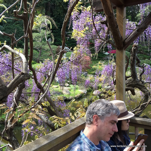 wisteria in bloom at Hakone Gardens in Saratoga, California