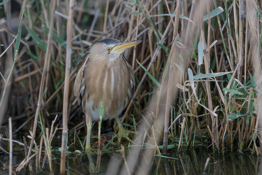 Little Bittern1