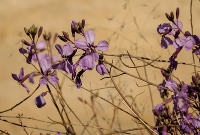 Moricandia arvensis