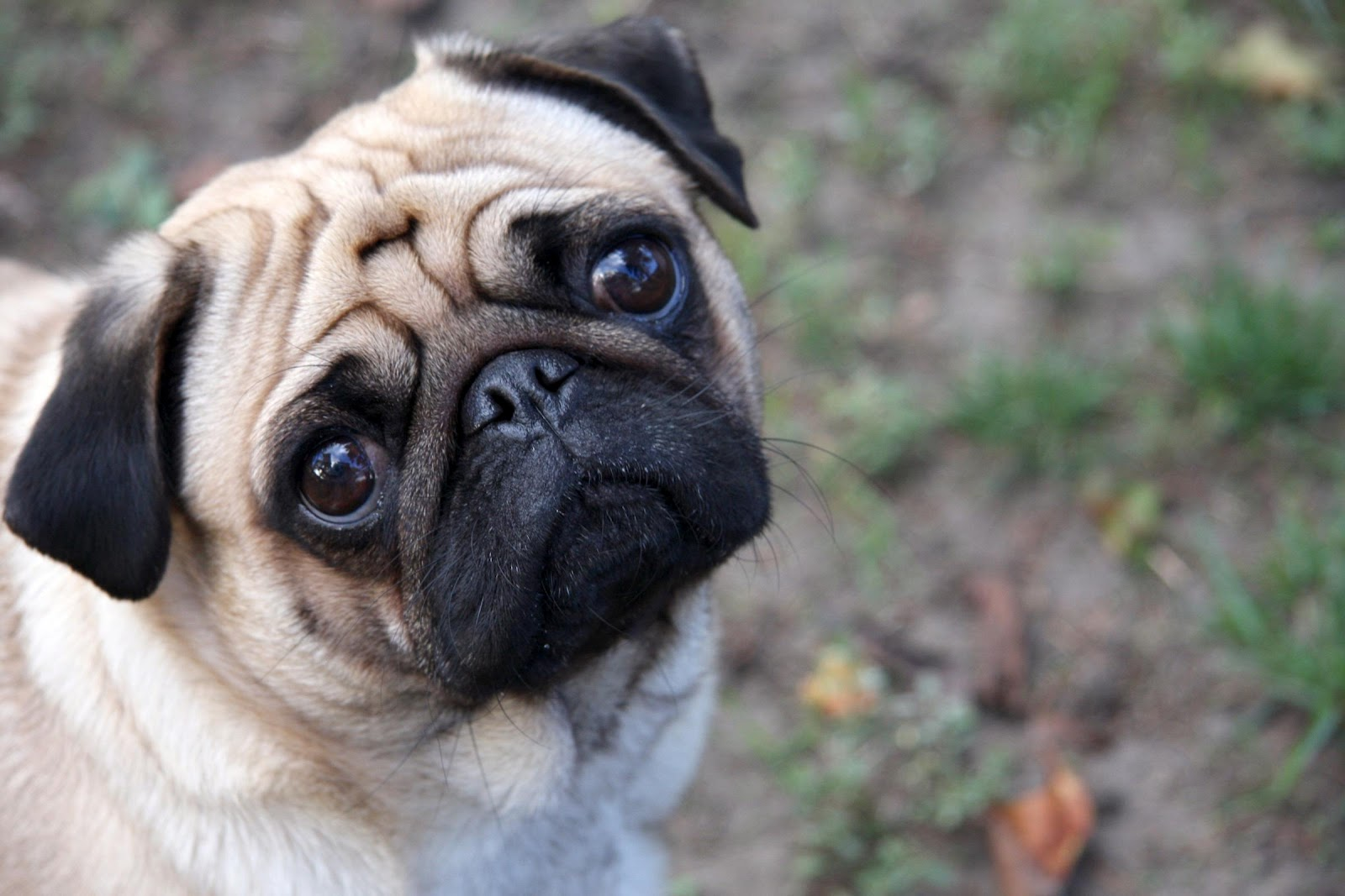 All Wallpapers: Pug Dog Hd Wallpapers