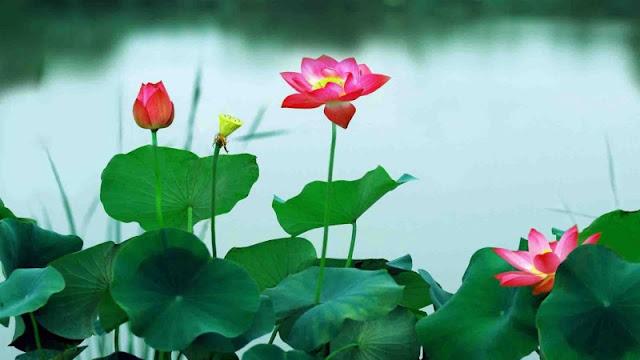 hoa sen đẹp nhất thế giới