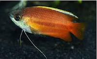 Gurami Thicklip, jenis ikan hias akuarium