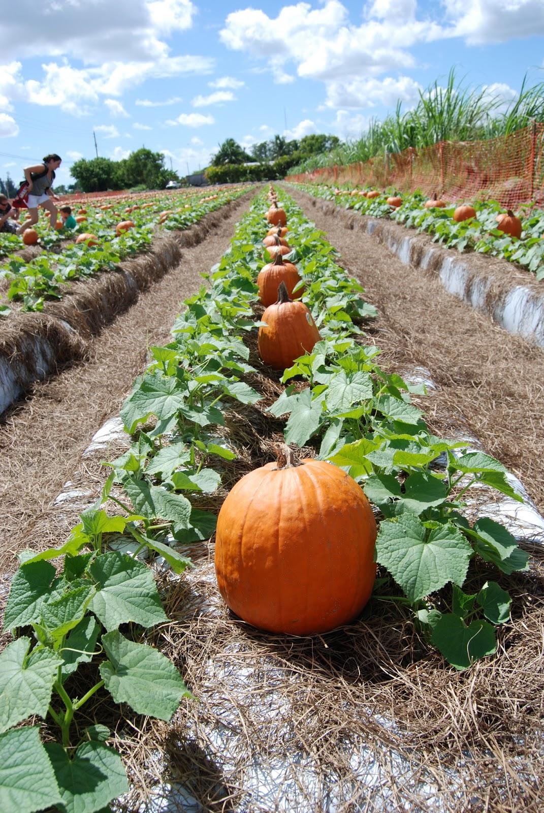 How To Grow Fresh Pumpkins  Best Ideas Ever