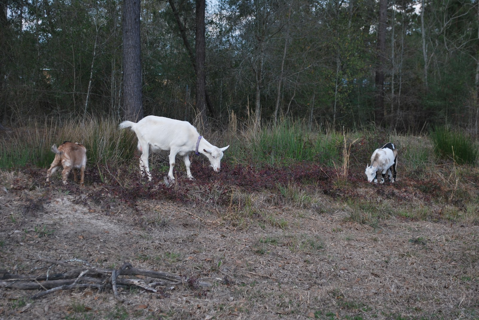 HighTail Farms: Goat heaven