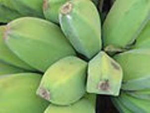 gambar pisang kepok