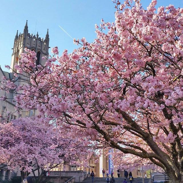 【西雅圖。生活】滿地整個校園的的櫻花樹及四月限定的鬱金香園 1