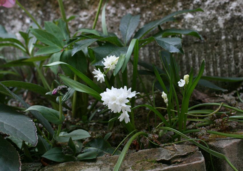 ボタンのくらし ※: 春先の花たち