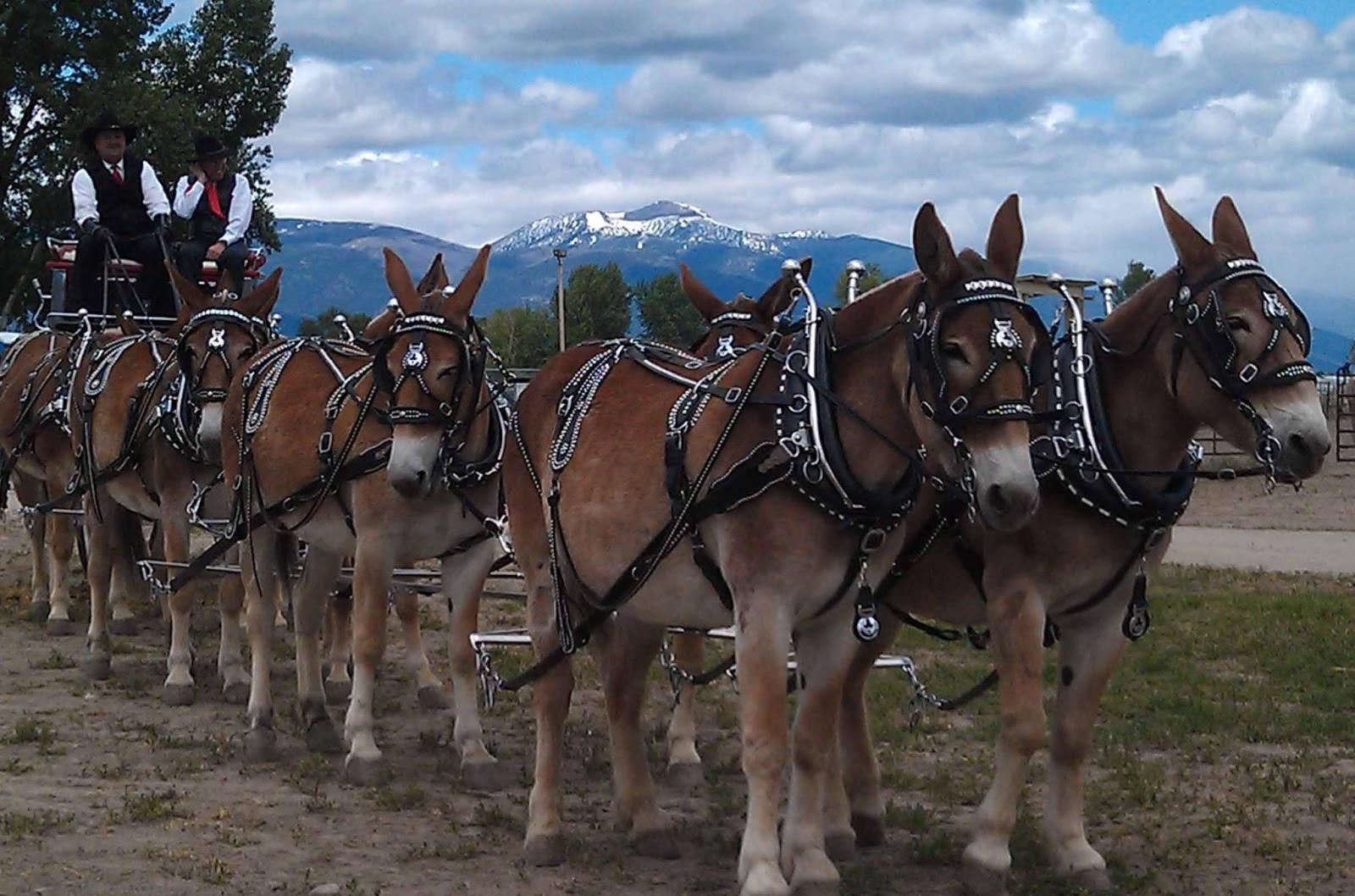 Mule Fest  Hamilton  M...