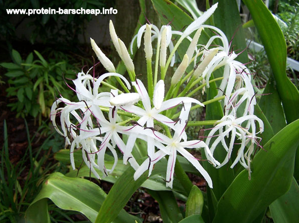 Crinum asiaticum white flowers - Etched glass of prostate hypertrophy
