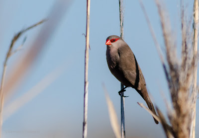 Waxbill : Table Bay Nature Reserve / Woodbridge Island