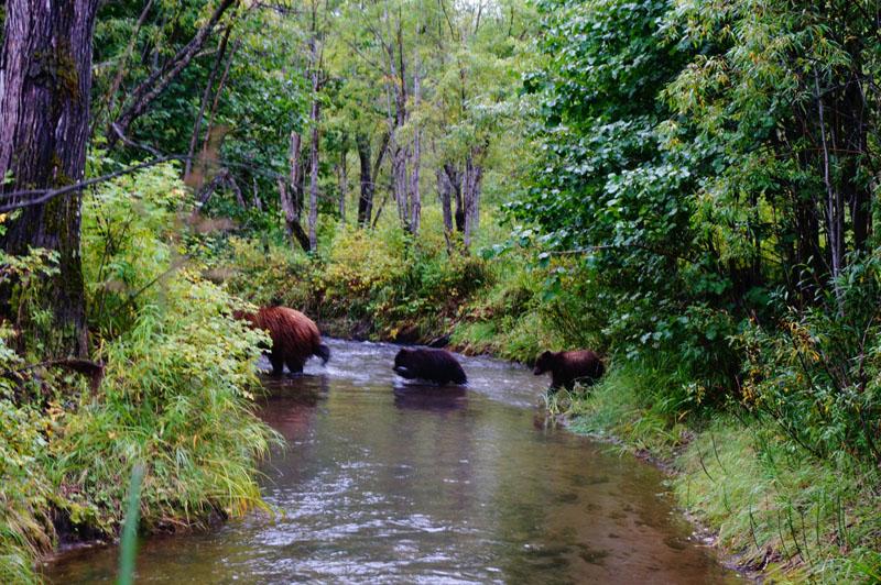 медведи-на-кетачане-камчатка