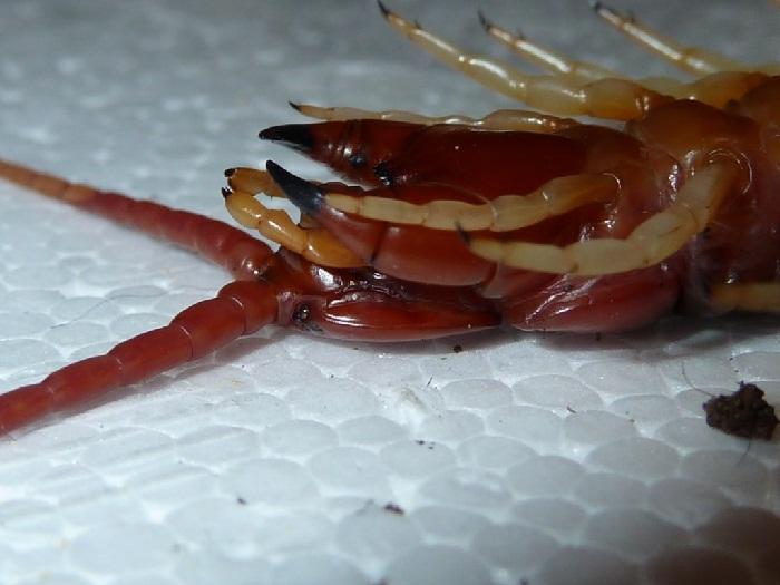 Как выглядит сколопендра домашняя и при помощи каких методов от нее можно избавиться. Опасна ли сколопендра домашняя для человека и как вывести противных насекомых из жилища