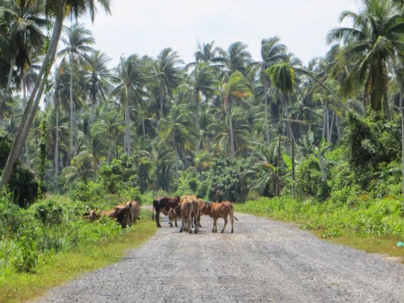 Коровы на дороге