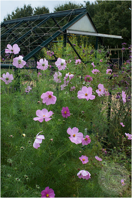 cosmos and old greenhouse