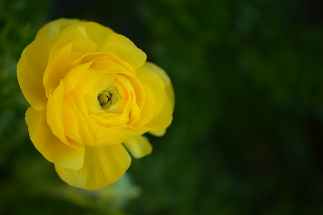 ranunculus, small sunny garden, amy myers, photography
