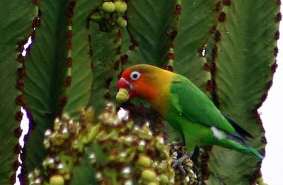 5 Macam Makanan Burung Lovebird Terbaik Biar Rajin Ngekek
