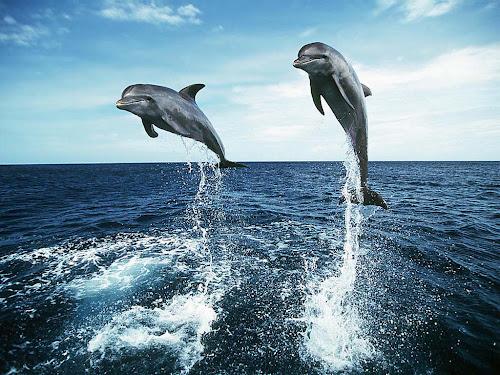 7700 Koleksi Gambar Ikan Lumba Lumba Bergerak HD Terbaru