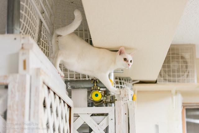猫カフェ西国分寺シェルターにいる白猫が手作りの扉の上を器用に歩いている写真