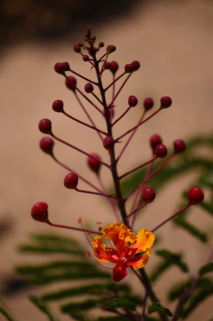 caesalpinia pulcherrima, bird of paradise, pride of barbados, garden bloggers bloom day, small sunny garden, amy myers, photography, desert garden