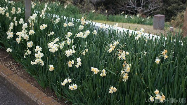 Hamayu flowers in Yokosuka