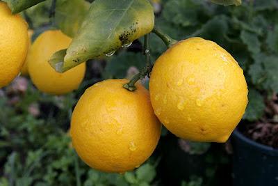 Manfaat Buah Jeruk Lemon Untuk Kesehatan