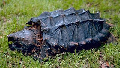 Bentuk Fisik Alligator Snapping Turtle