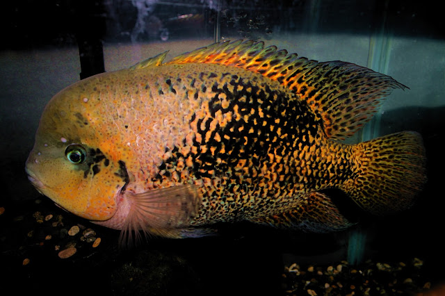 Bifa Vieja bifacsiatus ikan hias air tawar