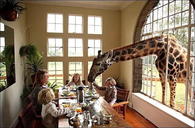 Santai bersama zirafah di Giraffe Manor, Nairobi